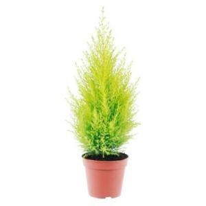 Goldcrest Cypress