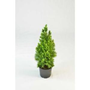 Alberta Spruce